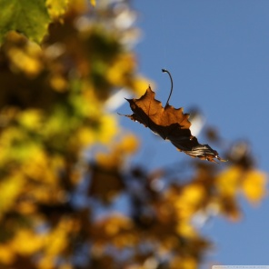 falling_leaf-wallpaper-1024x1024